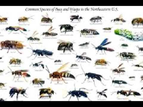 Honey bees versus wasps vs hornet or velvet ant and yellow jacket