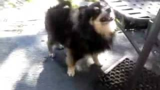 Pomeranian Dog Barking