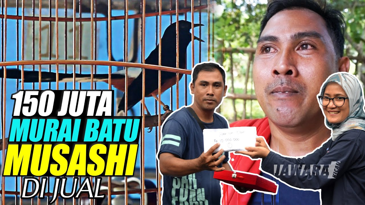 WOW ! MURAI BATU JAWARA PIALA BUPATI LEBAK VI || MOSASHI DI JUAL HARGA 150 JUTA