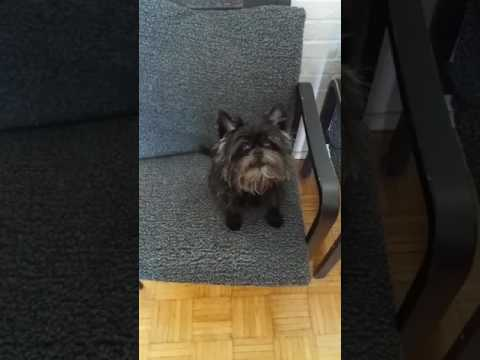 Singing affenpinscher