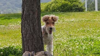 Annual BBQ picnic of wire fox terriers and their friends. We have t...