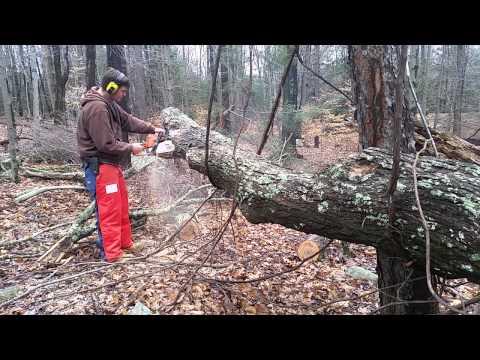 Cutting a big tree with the Stihl MS250 and Stihl 025