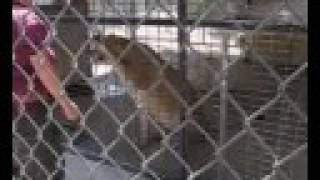 EATM - Cougar/Lioness Feeding