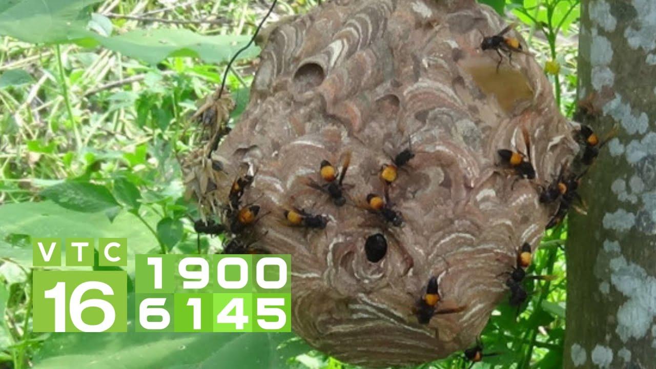 Phát cỏ trúng tổ ong vò vẽ, tử vong vì 150 vết đốt   VTC16