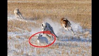 Как натаскать собаку на зайца? Секреты охоты на зайца с собакой!
