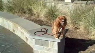 Dallas Dog Training | Redeeming Dogs | Whitney - Cavalier King Charles Spaniel