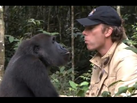 Gorilla reunites with man that saved him from YouTube · Duration:  4 minutes 2 seconds