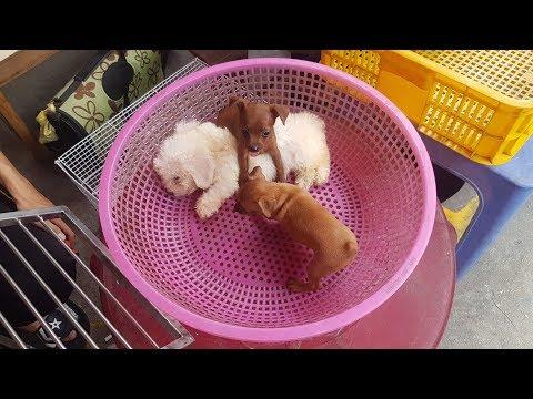 THƯƠNG ĐÀN CHÓ - PETS MARKET IN VIETNAM | Puppies & Kittens
