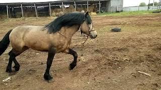 Туз, вятская лошадь