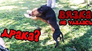 Фаина питбуль)) вязка собак, спаривание (не удалась)
