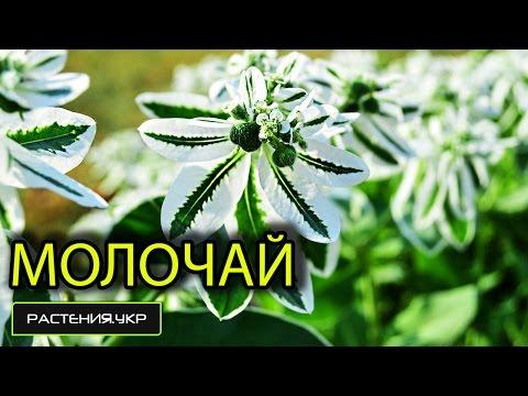 цветы молочай посадка и уход фото