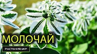 Молочай окаймлённый посадка и уход / садовые цветы