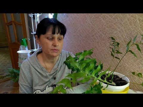 Посев спор с папоротника Циртомиума серповидного