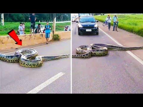أكبر أفاعى في العالم تم العثور عليهم في البرازيل , لو لم تسجلها الكاميرات لما صدقها أحد  - نشر قبل 51 دقيقة