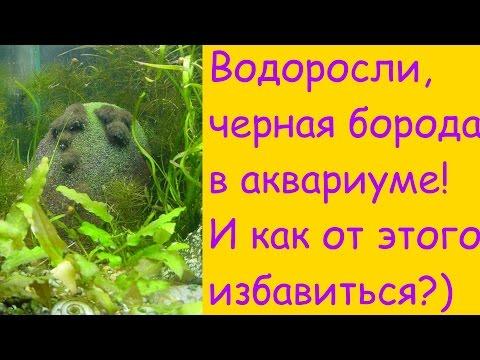 Черная борода,водоросли в аквариуме и как от этого избавиться? [#Аквариумные рыбки]