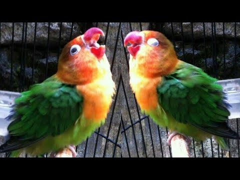 Suara merangsang lovebird ngekek bunyi ampuh langsung nyaut