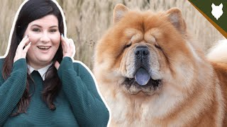 5 Reasons You SHOULD NOT GET A CHOW CHOW!