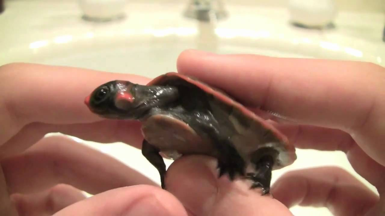 Red Headed Amazon Podoc Turtle Extremely Rare Youtube
