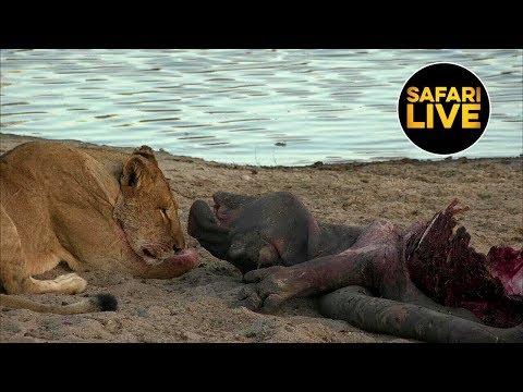 safariLIVE - Sunset Safari - August 21, 2019