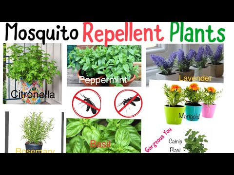 Mosquito Repellent Plants Gorgeous You Youtube