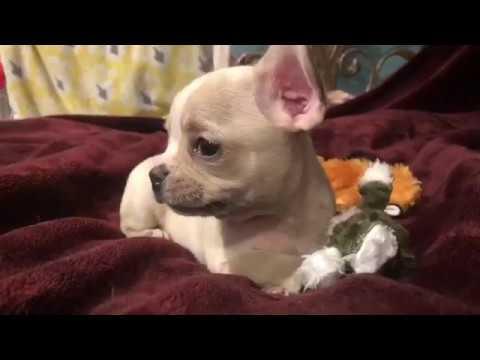 """Royal Frenchel French Bulldog Hybrid """"Moana"""""""