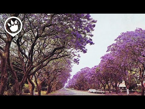 Jacaranda In Australia's: When & Where To Catch Them