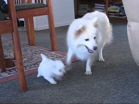 Japanese Spitz Puppies playing.