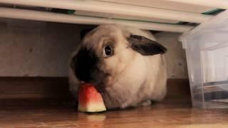 Кролик Флаффи кушает арбузик | 2018 год