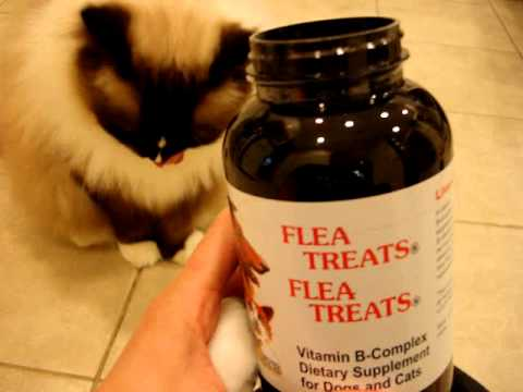 Ragdoll Cats Receive Flea Treats - Natural Flea Treatments for Cats - ラグドール -- Floppycats