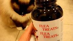 Ragdoll Cats Receive Flea Treats - Natural Flea Treatments for Cats - ラグドール -- Floppycats