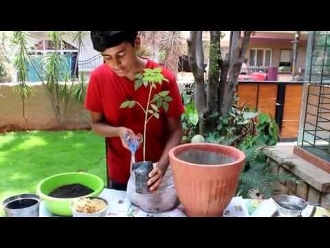How To Transplant Tomato Sapling