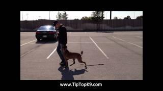 Koda Belgian Malinois - Offleash Dog Training In Tulsa Oklahoma