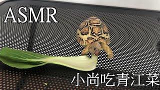 烏龜也可以ASMR??? 豹龜吃青江菜【烏龜日常-ASMR】