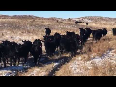 Brush Creek Bred Heifers Selling January 18, 2018 Valentine Livestock  Auction