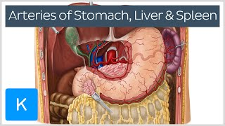 Arteries of the stomach, liver and spleen (preview) - Human Anatomy |Kenhub
