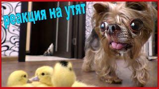 Реакция собаки на маленьких утят