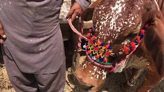 Checking Different Teeth of Cows!   Cow Mandi Karachi of Bakra Eid   Video # 48 HD