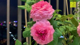 Kinh nghiệm trồng hoa hồng khoe sắc trên ban công căn hộ 3m2