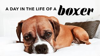 A Day In The Life Of A Boxer Dog | Quarantine Life With My Dog