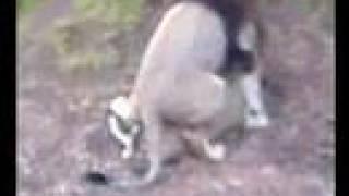 Gay Humping Lion