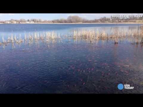 Goldfish 'army' Takes Over Colorado Lake