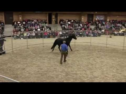 Watch Monty Roberts put first saddle, bridle and rider up in 30 minutes