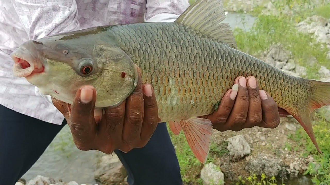 रोहू मछली पकड़ने का आसान तरीका | How to catch rohu fish