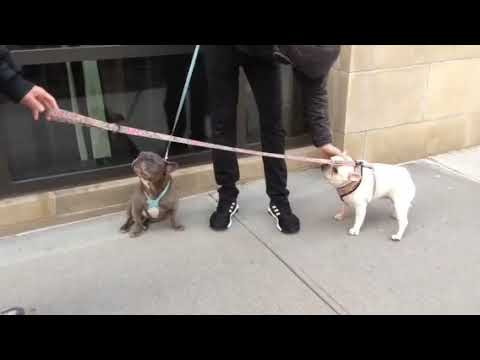 French Bulldogs: Bianca meets Willy!
