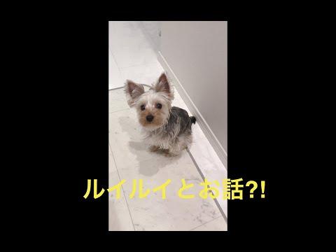 ルイルイとお話?! 【ヨークシャテリア】【Yorkshire terrier】