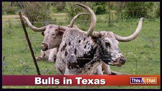 Bulls in Texas