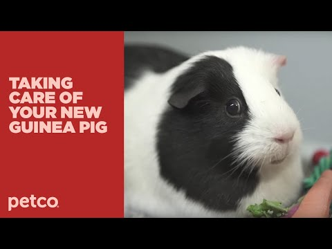How to Care for Your New Guinea Pig (Petco)