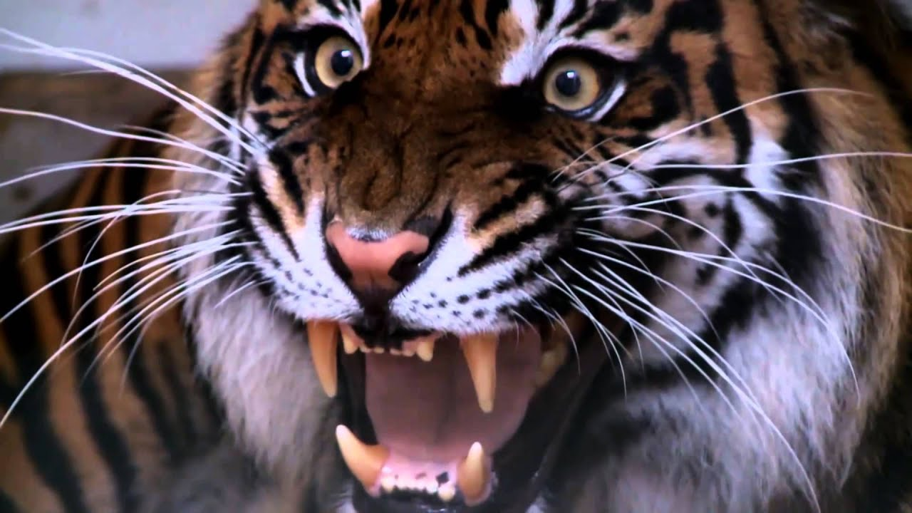 Tiger Roar [Twixtor] - YouTube - photo#45