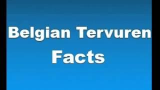 Belgian Tervuren Facts - Facts About Belgian Tervurens
