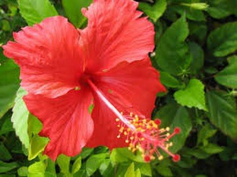 Manfaat Bunga Kembang Sepatu Untuk Pengobatan Tradisional
